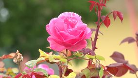 Blooming roses stock video