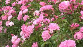 Blooming roses stock footage