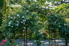 Blooming Roses On Arbor 2. White blooming Roses grow on an arbor in Seatac, Washington Stock Image