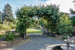 Blooming Roses On Arbor. Yellow blooming Roses grow on an arbor in Seatac, Washington Stock Photos