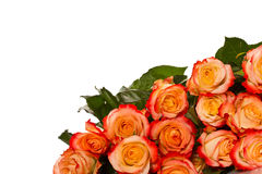Blooming roses Royalty Free Stock Photography