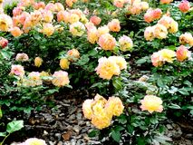 Blooming roses beauty and fragrance stock image