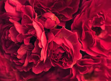 Blooming roses flowers Royalty Free Stock Image