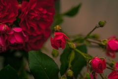 Blooming roses flowers Royalty Free Stock Photos