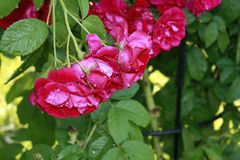 Roses in the garden. Blooming roses in the garden Royalty Free Stock Photography