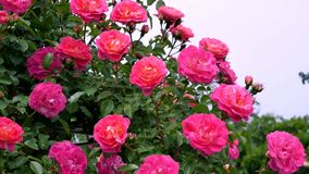 Blooming roses on a sunny summer day Stock Photo