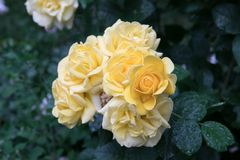 Blooming roses under the raindrops. Blossoming inflorescences of roses a sort tea rose under drops of a rain Stock Images