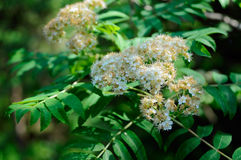 Blooming rowan. Flowering branch of rowan closeup Royalty Free Stock Photography