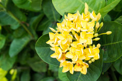 Blooming Rubiaceae flower. Rubiaceae flower is blooming. It's very nice Stock Photo