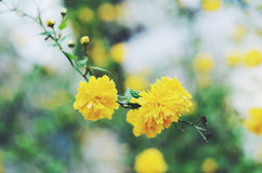 Blooming rudbeckia flowers on spring background Stock Photography