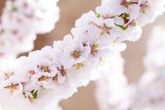 Blooming sacura Stock Image
