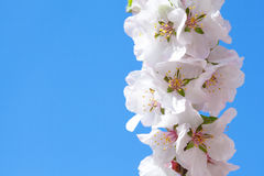 Blooming sacura or cherry tree Stock Photos