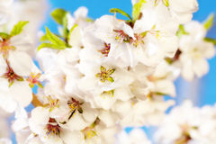 Blooming sacura or cherry tree Royalty Free Stock Images