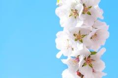 Blooming sacura Stock Photos
