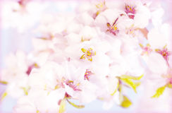 Blooming sacura or cherry tree over blue sky.  Stock Images