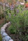Blooming sage Royalty Free Stock Image