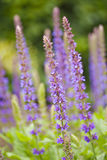 Blooming sage flowers Stock Photos