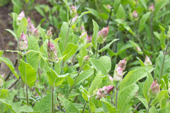 Blooming sage Stock Photography