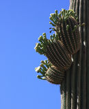 Blooming Saguaro Stock Photo
