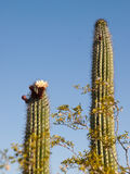 Blooming Saguaro Cactus. Blossom of the Saguaro Cactus against the blue sky with blooming palo verde tree branches in the foreground.  Organ Pipe National Royalty Free Stock Image
