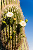 Blooming Saguaro Cactus Close Up Stock Photos