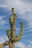 Blooming Saguaro Cactus Stock Photos