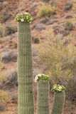 Blooming Saguaro Cactus Royalty Free Stock Photos