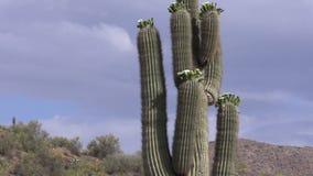 Blooming Saguaro Cactus Zoom In stock footage