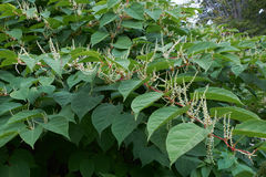 Blooming Sakhalin Knotweed in autumn Stock Images