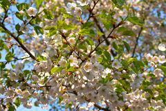 Blooming sakura against the blue sky. Beautiful white flowers on a sakura tree against a blue sky background Stock Photography