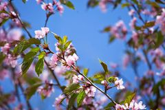 Blooming sakura branch Royalty Free Stock Photography