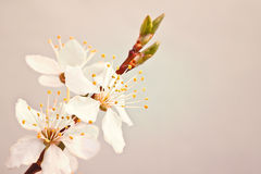 Blooming sakura branch. Royalty Free Stock Photos