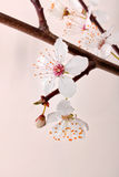 Blooming sakura branch. Stock Photography