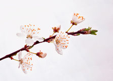 Blooming sakura branch. Royalty Free Stock Images