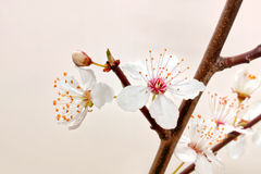 Blooming sakura branch. Royalty Free Stock Photo