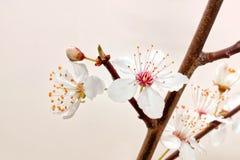 Blooming sakura branch. Royalty Free Stock Photo