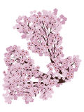 Blooming Sakura Branch Stock Photos