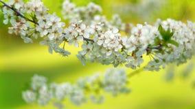 Blooming sakura stock video