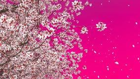 Blooming sakura cherry crown pink background stock footage