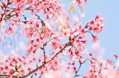Blooming sakura flower Royalty Free Stock Image