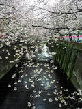 Blooming sakura flower branches line hanging over Meguro river s Royalty Free Stock Images