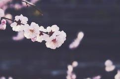 Blooming sakura flower on dark background. Blooming white sakura flower on dark background Stock Images