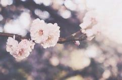 Blooming sakura flower, springtime background Royalty Free Stock Photo