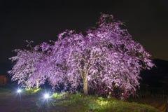 Blooming sakura flower tree Stock Photo