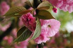 Blooming sakura flowers in spring Stock Photo