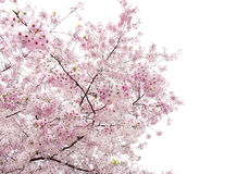 Blooming sakura.Isolated. Stock Images