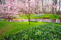 Blooming Sakura in Keukenhof. Pink blooming sakura on the green grass during spring time in famous Holland Flower park - Keukenhof. Toned photo Stock Image