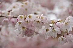 Blooming sakura in Redmond - 2017, 10 Royalty Free Stock Images