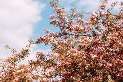 Blooming Sakura on the sky background Stock Images
