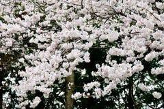 Blooming sakura Stock Image